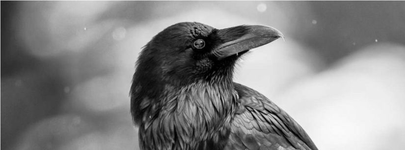 cropped-common-raven-portrait-c2a9-christopher-martin-2.jpg