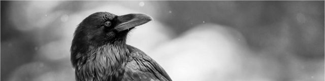 cropped-common-raven-portrait-c2a9-christopher-martin-21.jpg