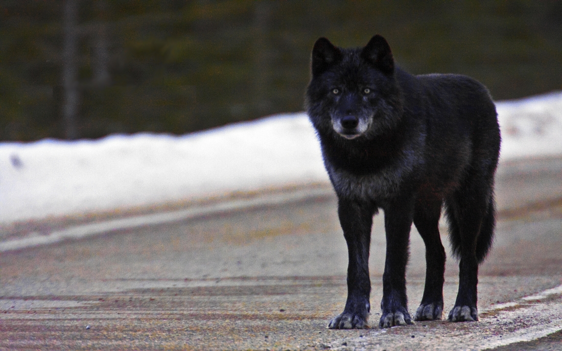 black-wolf-on-road-wallpapers-hd